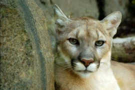 Cougar Sightings in Cumberland's Forest