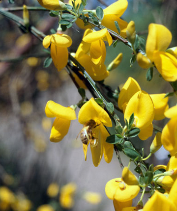 Scotch Broom Bust May 9, 2015   Currently Cumberland