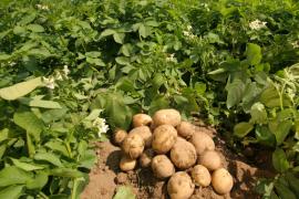 Stolen Potatoes!?!